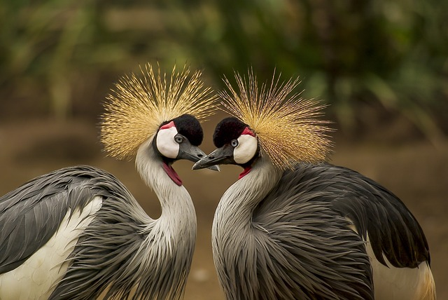 grey crowned crane 540657 640 1 - Spells To Return Lost Lover